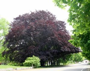 Norwell MA Main Street Most Beautiful Tree