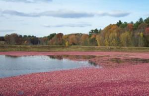 Norwell MA Cranberry Bog