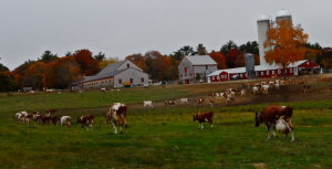hornstra_cows_to_barn-1024x521